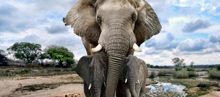 Nieuwe samenwerking tegen stropen van Afrikaanse olifanten