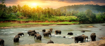Kudde olifanten baden in de jungle rivier van Sri Lanka